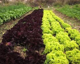 Organic Food Market: winter veggies